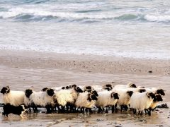 Achill-Mountain-Lamb-Beach-1020x420